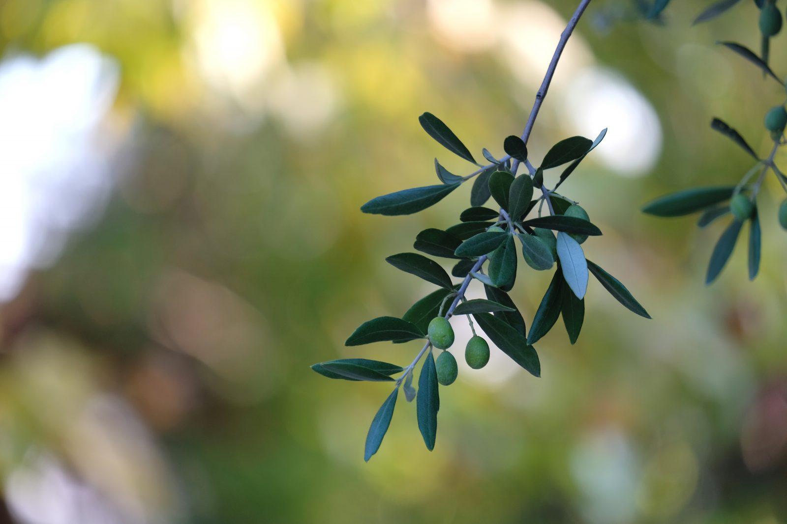 détail olivier Domaine de la Ruche Apis Ligustica