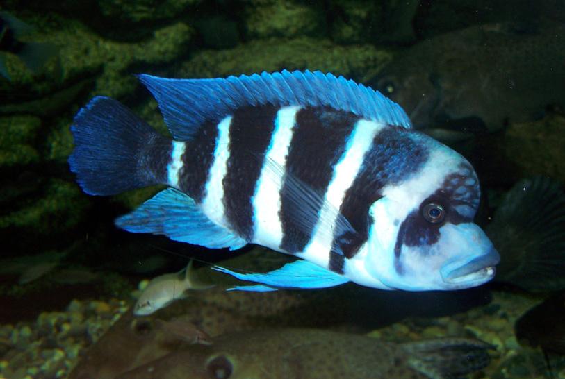 Frontosa Aquarium des Tropiques