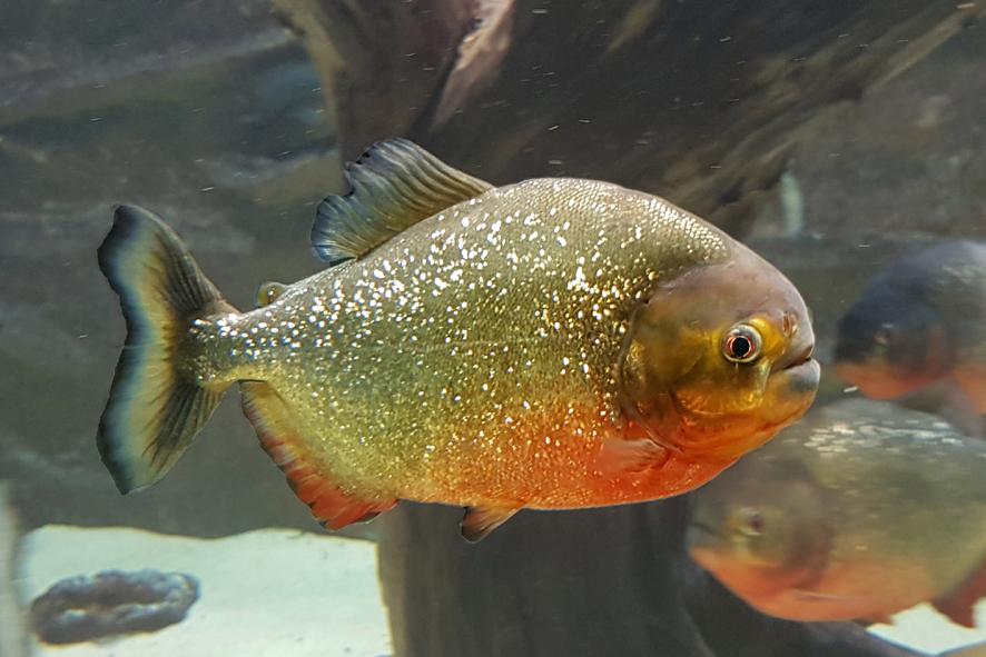 Piranha Aquarium des Tropiques